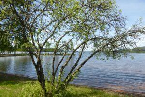 grannt-tra%cc%88d-vid-skogsand-foto-av-jb-16