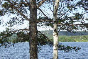 tall-o-bjo%cc%88rk-skogsand-foto-av-jb-16