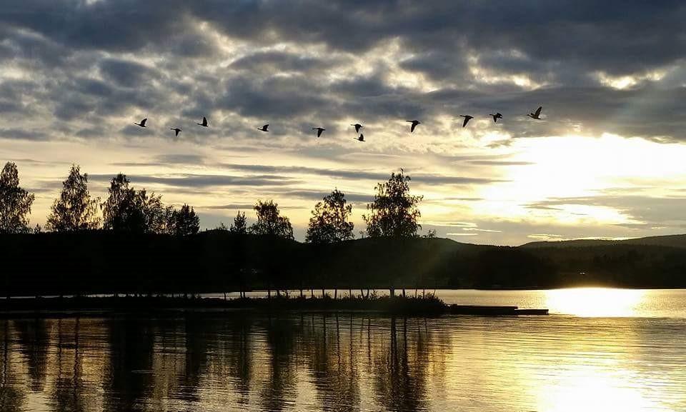 Kanadagäss flyger söderut vid Skogsand - Fotograf Anders Hedblom